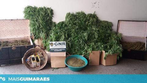 MAIS DE 2500 PLANTAS DE CANNABIS APREENDIDAS EM GONDAR