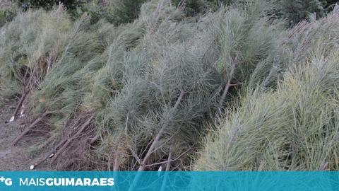 AUTARQUIA OFERECE PINHEIROS DE NATAL PARA EVITAR ABATE DE ÁRVORES JOVENS