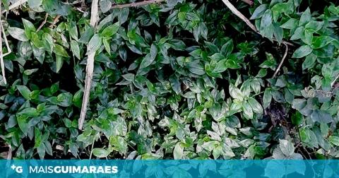 AÇÃO PARA LIVRAR A RIBEIRA DA CANHOTA DE ESPÉCIES INVASORAS NO SÁBADO