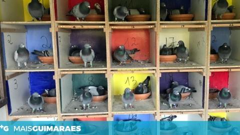 Columbofilia: os pombos também ajudam o tempo a voar durante o isolamento
